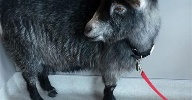 Goat breaks free, goes on Starbucks run in California