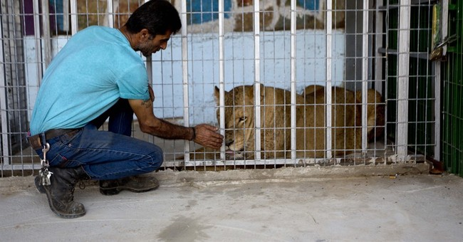 Gaza lioness leaves territory for new life in the West Bank