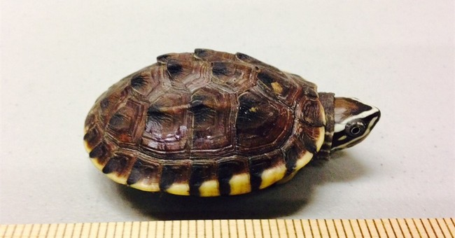 Canadian turtle smuggler receives nearly 5 years in prison