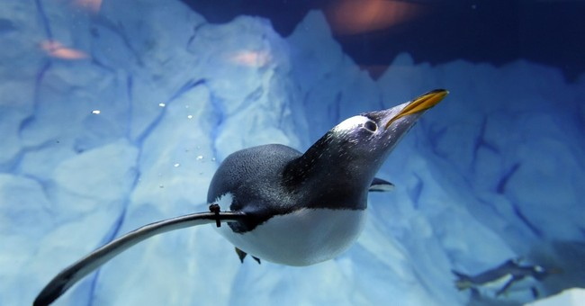 Detroit Zoo shows off new penguin habitat with better views