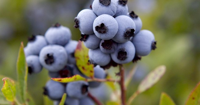 US government to buy wild blueberries to help prop up prices