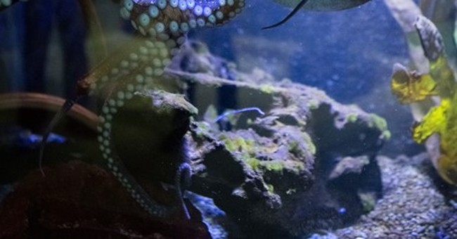 So long, suckers! Inky the octopus makes an amazing escape