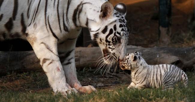 Tiger countries agree to preserve big-cat habitats