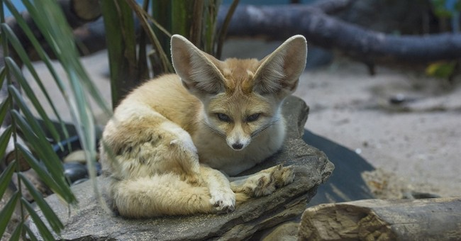 What big ears you have! NY zoo debuts adorable little foxes