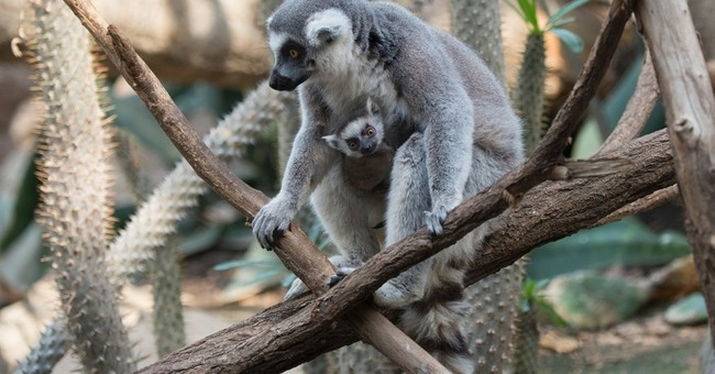 3 baby lemurs to debut at the Bronx Zoo