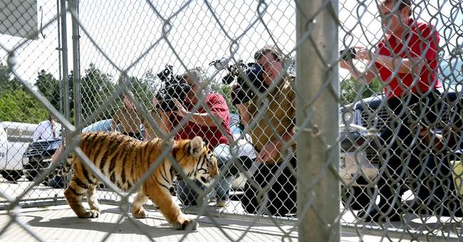 Tiger wearing collar with leash caught in South Texas city