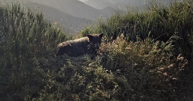 Bear in the 'burbs: Cub sent packing after romp near homes