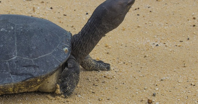 Cambodian Royal Turtle nearly extinct _ less than 10 in wild