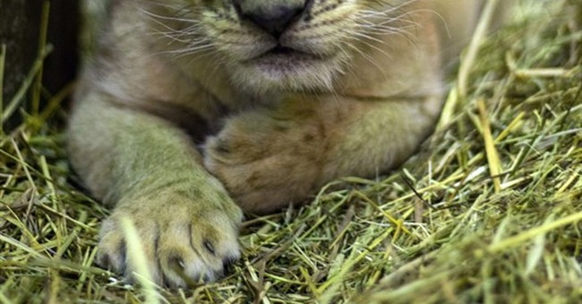 New York zoo introduces new _ fluffy! _ African lion cub