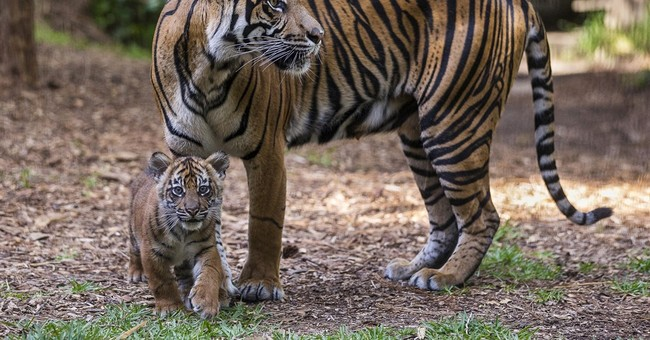 3 Sumatran tiger cubs step out at San Diego Zoo
