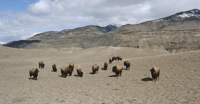 Congress votes to designate bison as national mammal