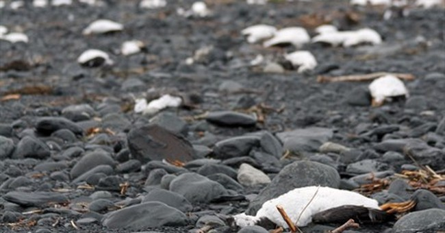 Starvation suspected in massive die-off of Alaska seabirds