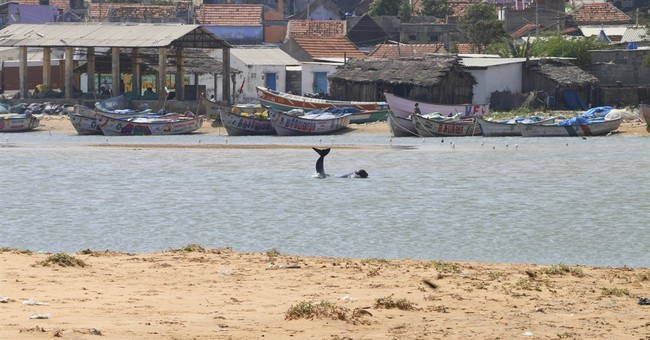 More than 80 whales wash ashore on India's southern coast
