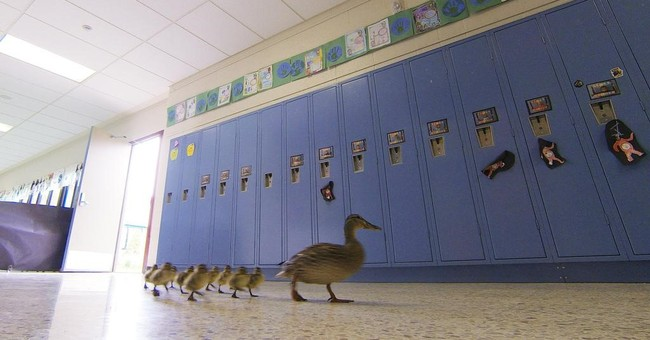 Duck leads ducklings on annual waddle through school's halls