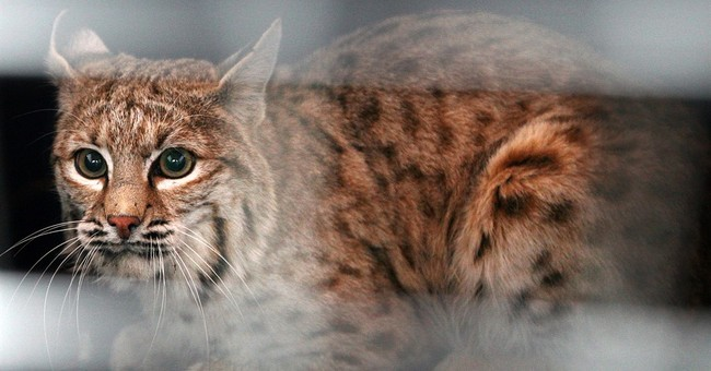 Group seeks to halt US exports of fur from bobcats, wolves