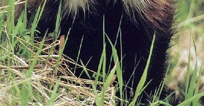 Researchers in 4 states unite for rare wolverine study
