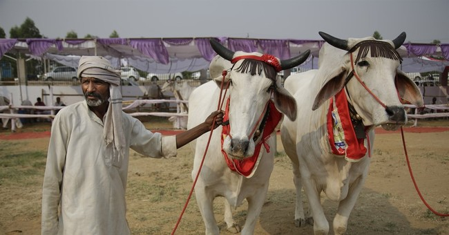 These beasts are beauties: India holds bovine beauty pageant