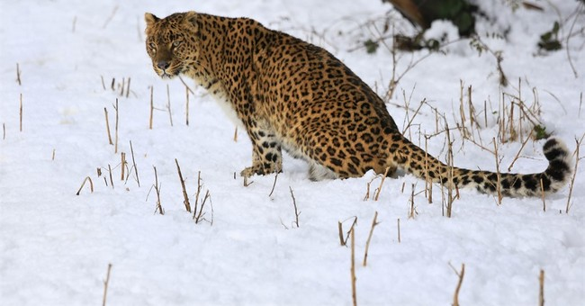 Leopards have lost 75 percent of historic range, study shows