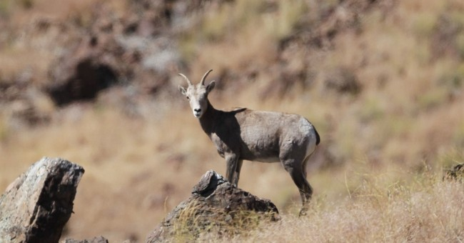 Nevada reluctantly killed bighorn sheep to save them