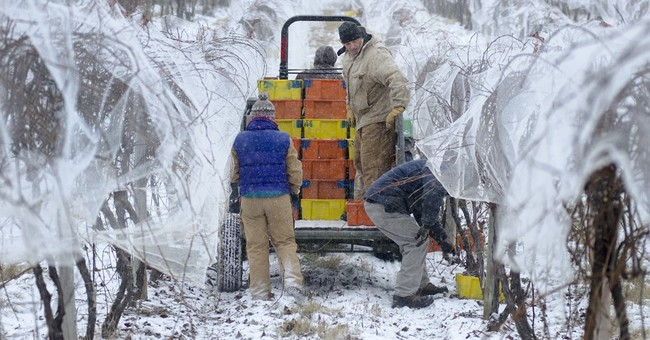 Ch-ch-cheers! Finger Lakes ice wine harvest late this winter