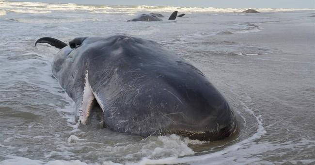 5 sperm whales die after beaching on Dutch island