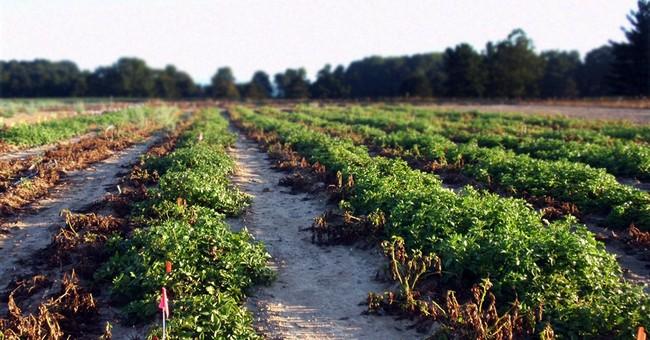FDA gives OK for company's genetically engineered potato