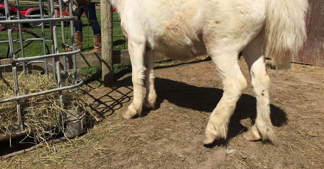 Equine tail-hacking cases rising in Michigan, motive unclear