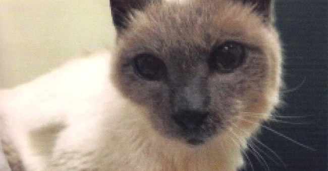 30-year-old Siamese cat is named world's oldest living cat