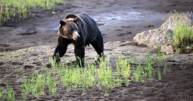 Montana, Wyoming, Idaho gear up for possible grizzly hunts