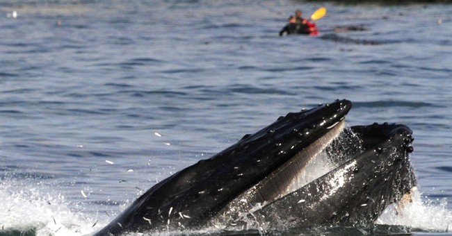 Unusual number of whales seen in San Francisco Bay