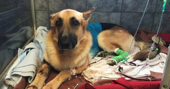 Hero dog bitten saving 7-year-old girl from rattlesnake