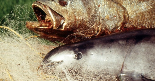 Experts: Mexico's Vaquita porpoise headed toward extinction