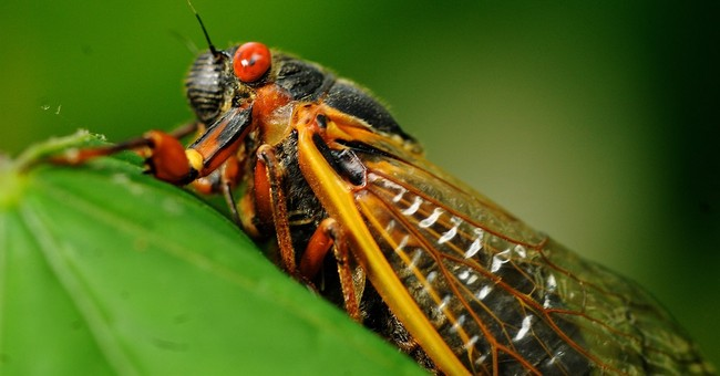 Loud and low-carb: Cicadas are back in Ohio, West Virginia