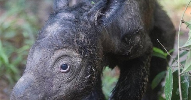 Endangered Sumatran rhino gives birth in Indonesia