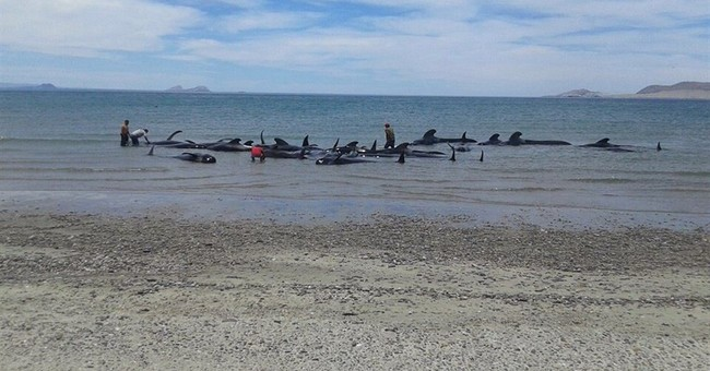 24 pilot whales die after beaching in Baja California