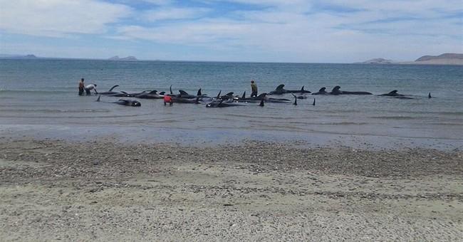 24 pilot whales die after beaching in Baja California
