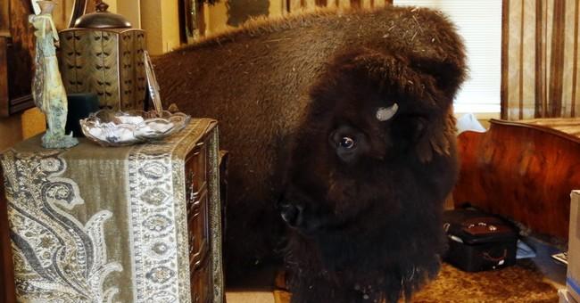 Texas woman sells 'housebroken' bison she let wander inside