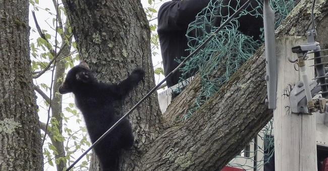 Workers rescue 3 cubs from tree after mother is electrocuted