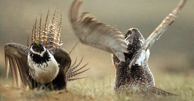 Montana approves relocation of sage grouse to Canada
