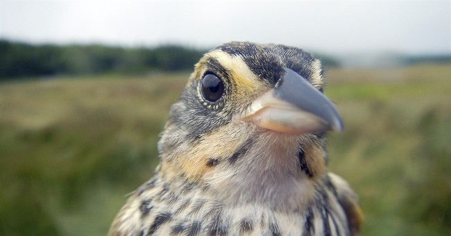 East Coast's saltmarsh sparrow disappearing, scientists say