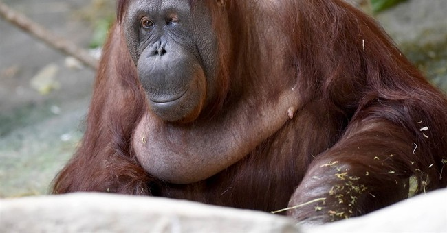2nd-oldest known female orangutan dies at Chicago zoo