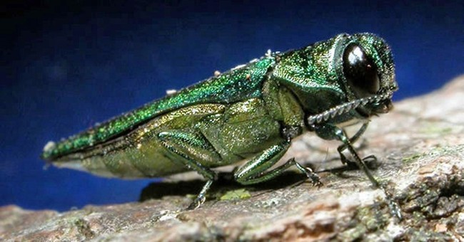 Use of parasitic wasps to fight ash borer grows to 24 states