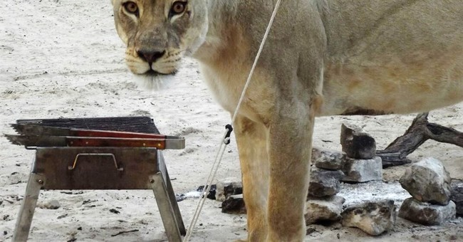 Lions lick tent while campers inside it in Botswana park