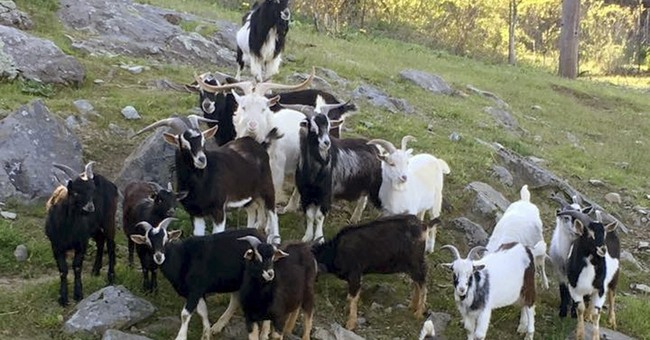 Rescue farm overwhelmed by 50 goats, seeks the public's help