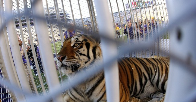 PETA asks LSU to stop using captive tigers as mascots