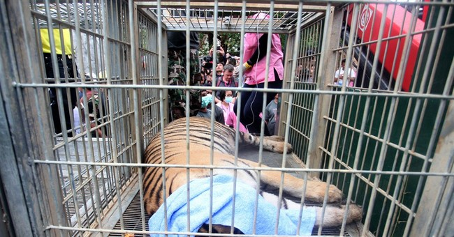 Thai authorities remove more tigers from Buddhist temple