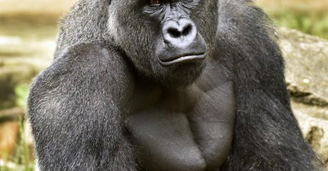 Zoo to re-open gorilla exhibit with higher barrier