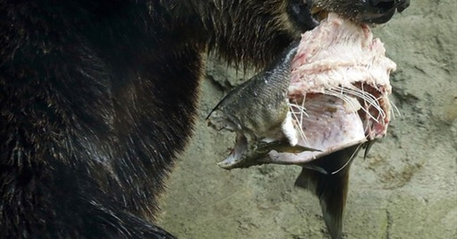 Pike Place fish-throwers toss salmon to zoo bears