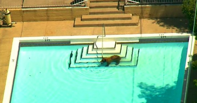 Bear takes a dip as it roams foothill suburb of Los Angeles