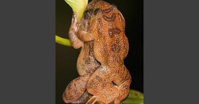 For the Kermit Sutra? New mating position reported for frogs